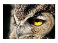 Horned Owl Closeup - various sizes