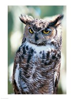 Great Horned Owl Close Up Fine Art Print