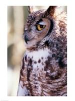 Great Horned Owl Sleepy - various sizes