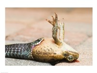 Close-up of a snake eating a frog Fine Art Print