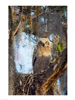 Great Horned Owl Perching on Branch - various sizes