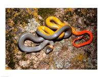 Western Ringneck snake - various sizes