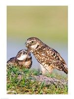 Burrowing Owls - various sizes