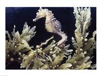 Sea Horse photo Fine Art Print