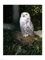 Snowy owl sitting - various sizes