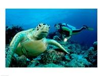 Green Sea turtle - ocean - various sizes