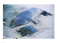 Hawaiian Monk Seal with Green Turtle relaxing on the sand Fine Art Print