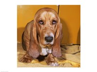 Close-up of a Basset Hound - various sizes