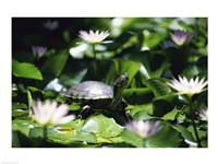 Turtle on a Lily pad, Bahamas - various sizes
