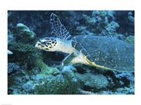 Loggerhead Turtle - various sizes