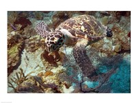 Hawksbill Turtle - various sizes