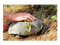 Gopher Tortoise - various sizes