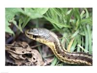 Garter Snake - various sizes