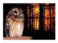 Barred Owl perching on a log - various sizes