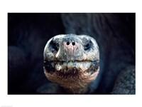 Galapagos Giant Tortoise Galapagos Islands Ecuador - various sizes - $29.99