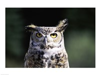 Great Horned Owl Zoomed In - various sizes