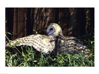 Barn Owl Spreading Wings - various sizes, FulcrumGallery.com brand