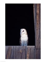 Barn Owl Perched - various sizes, FulcrumGallery.com brand