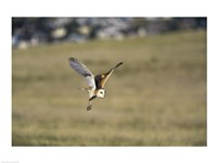 Barn Owl Flying Over Field - various sizes, FulcrumGallery.com brand