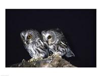 Saw-whet Owls - various sizes