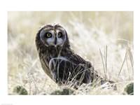 Short-eared Owl - various sizes