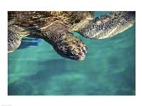 Green Sea Turtle - close - various sizes