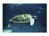 Green Sea Turtle - dark Fine Art Print