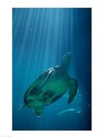 Green Sea Turtle - underwater - various sizes