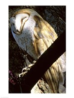 Barn Owl Sleeping - various sizes, FulcrumGallery.com brand