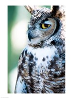 Great Horned Owl Looking Off - various sizes