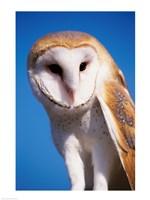 Barn Owl Close Up - various sizes, FulcrumGallery.com brand