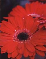 Red Gerbera Daisies II Framed Print