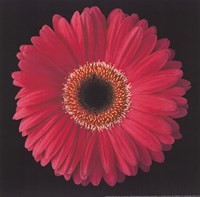 "Gerbera Daisy Pink by Jim Christensen - 8"" x 8"""