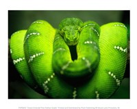 Green Emerald Tree Python Snake Framed Print