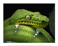 The Emerald Tree Boa Snake Head - various sizes