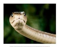 The Black Mamba Snake Fine Art Print