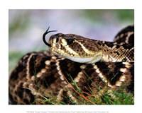 Snake Tongue - various sizes