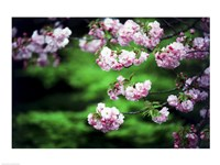 """Close-up of cherry blossoms, Nijo Castle, Kyoto, Japan - 24"""" x 18"""""""