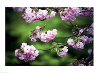 Close-up of cherry blossoms, Nijo Castle, Kyoto, Japan - various sizes