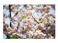 Close-up of cherry blossoms, Ryoanji Temple, Kyoto, Japan - various sizes