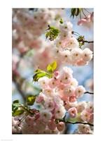 Cherry blossom, close-up - various sizes