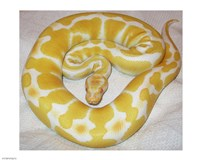 Albino Ball Python - various sizes