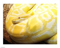 Albino Burmese Python - various sizes