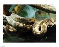 Amethystine Python - various sizes
