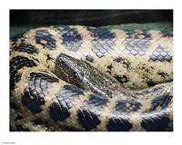 Anaconda - various sizes