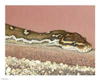 Angolian Python - various sizes