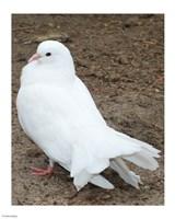 Animal Farm  Dove - various sizes