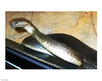 Asian Cobra - various sizes