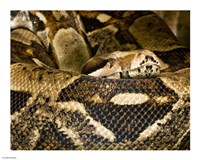 Boa Constrictor - various sizes