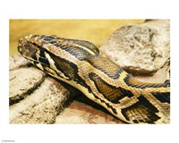 Burmese Python Head - various sizes